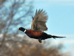 pheasant_flying